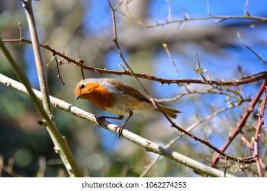 curious robin on a twig