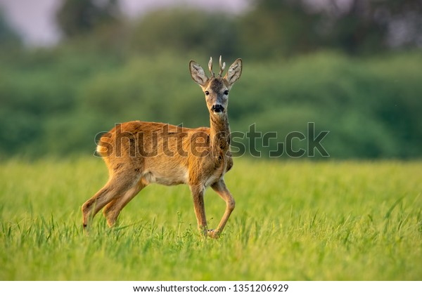Curious roe deer, cervus elaphus, buck in summer at sunset watching with one leg lifted in the air. Roebuck with vivid warm colors with positive sentiment.