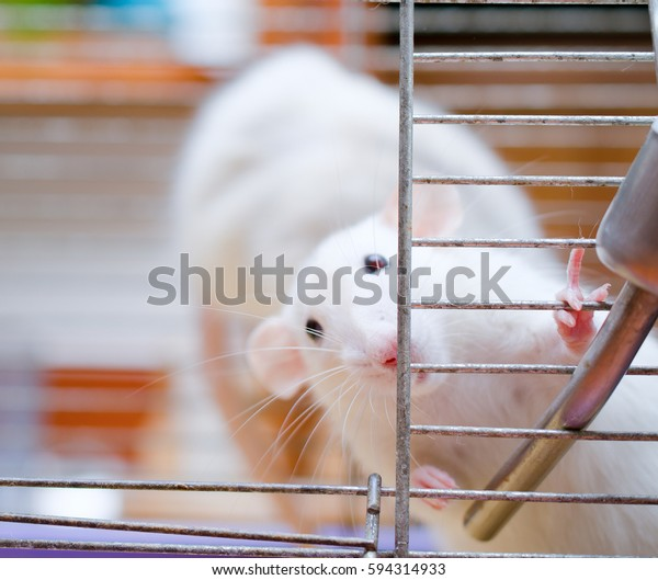 Curious scared white rat in a cage (shallow DOF, focus on the rat paws and nose)