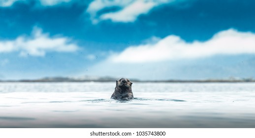 A curious sea otter