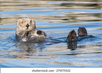 Curious Sea Otter