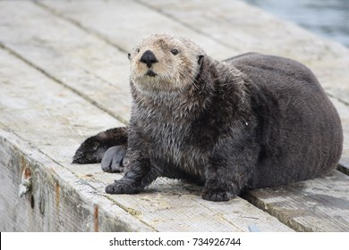 Curious sea otter sitting on a pier in Seldovia, Alaska