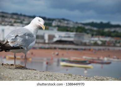 Curious seagull Beach Seaside Torbay