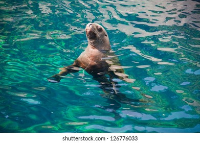 Curious sealion swimming in a pool