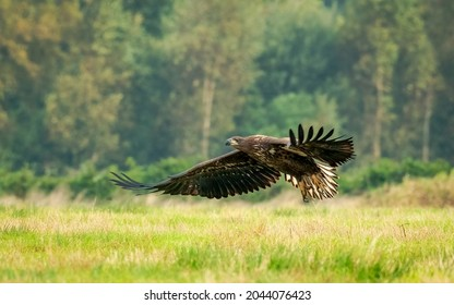 A curious Seeadler in a natural reserve, Germany