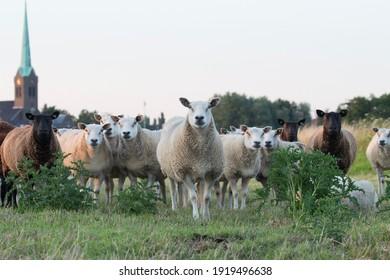 Curious sheep enjoying the green field