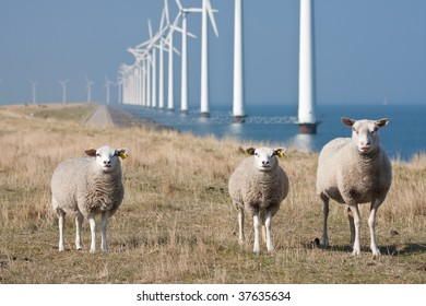 Curious sheep grazing at the dike with a long row of windmills in the sea