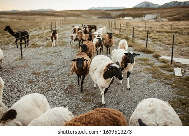 Curious sheep on the farm