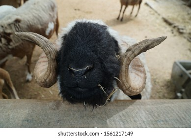 A curious sheep with a white body, black face, and horns.