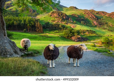 Curious sheeps on pasture at sunset in the Lake District, England