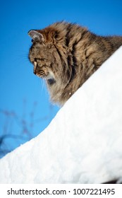 curious siberian cat look left from diagonal snow roof