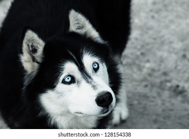Curious Siberian husky ghostly eyes