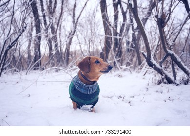 Curious small dog, in a plaid coat, stands on the trail among winter forest at quiet evening.