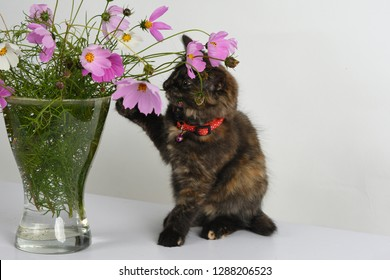 Curious small tortoiseshell colored kitten plays with bouquet of colorful Cosmos/ Cosmos bipinnatus flowers in glass vase in studio against white background.