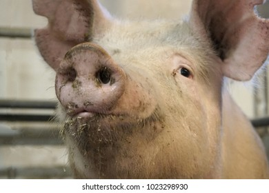A curious sow in an open room in farrow section posing for photografer.