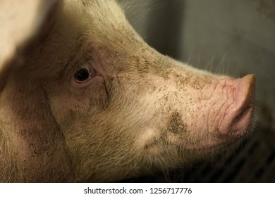 A curious sow in an open room looking at photografer with interest.