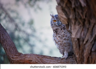 Curious Spotted eagle-owl, Bubo africanus, perched on branch, partly hiding behind trunk and watching at photographer. Wild owl with yellow eyes in colorful dusk, Kalahari desert, South Africa.