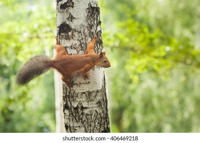 curious squirrel with a fluffy tail on a birch in a summer garden