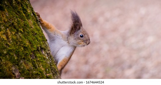 Curious squirrel peeks out from behind tree trunk in forest. Close-up view of squirrel in profile. Beautiful Nature Wallpaper or Web Banner With Copy Space
