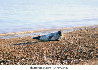 curious sunbathing common grey seal on the beach at Great Yarmouth, Norfolk, England