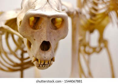 A curious, surprised monkey skull is large. - Shutterstock ID 1544067881