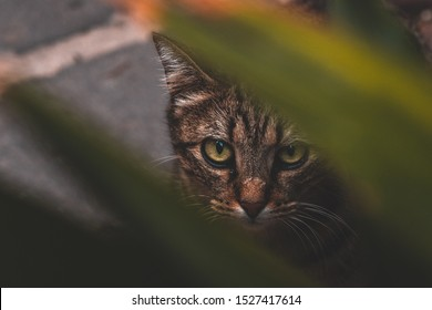 Curious Tabby cat looking up through a plant on the streets of Bosa in Sardinia, Italy.