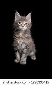 curious tabby maine coon kitten portrait sitting on black background with copy space