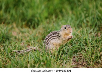 Curious thirteen-lined ground squirrel, also called striped gopher, eating nut in the grass