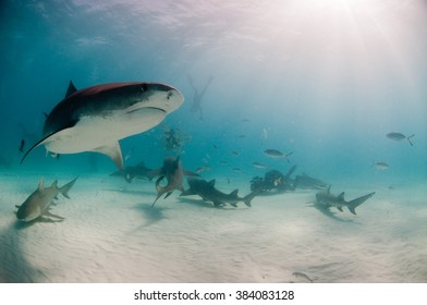 A curious tiger shark swimming by a group of divers and sharks on a baited dive.