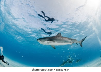 A curious tiger shark swims past a group of divers in clear, shallow water