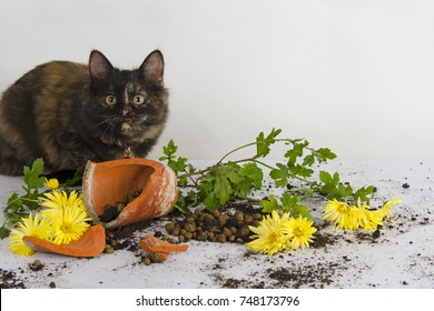 Curious tortoiseshell colored kitten and a broken pot with Chrysanthemum flower in studio against white background.