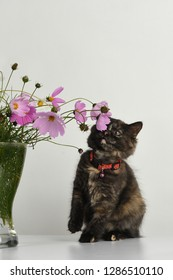 Curious tortoiseshell colored kitten plays with beautiful bouquet of colorful Cosmos/ Cosmos bipinnatus flowers in glass vase on the table in studio.
