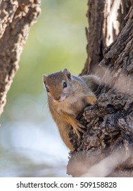 Curious tree squirrel hanging on to bark. Photo taken in the Caprivi Strip of Namibia.