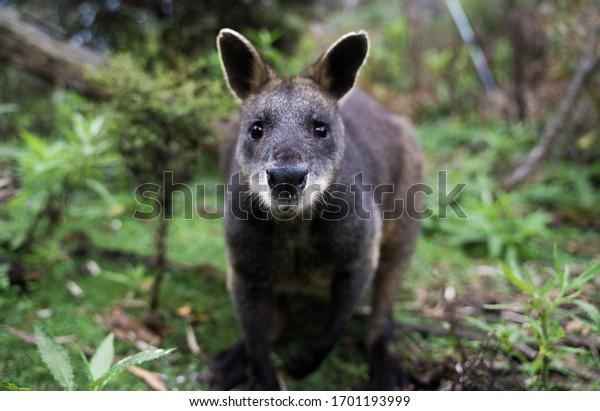 Curious Wallaby est un dense buisson vert au Promontory de Wilson