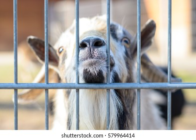 Curious white goat sticking his nose between vertical rods of metal fencing, looking at camera