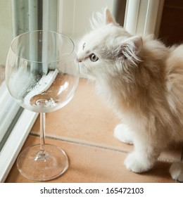 Curious white long-haired pedigree kitten sniffing at an empty wine glass