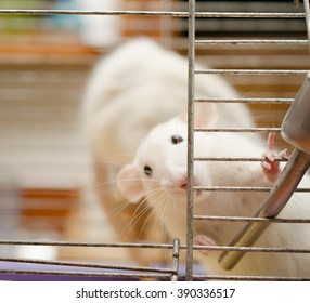 Curious white rat in a cage (shallow DOF, focus on the rat paws and nose)