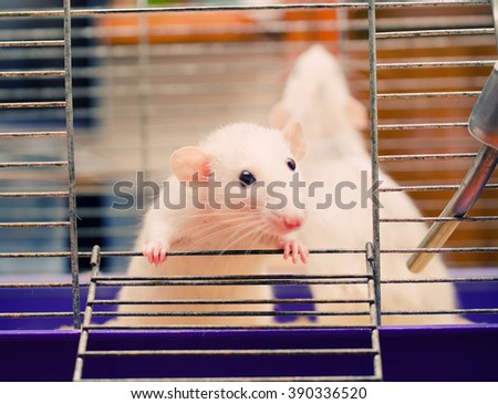 Curious white rat in a cage (shallow DOF, selective focus on the rat paw and eyes)