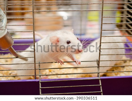 Curious white rat in a cage (with focus on the rat eyes)