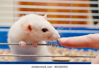 Curious white rat looking at a finger (selective focus on the finger and rat nose)