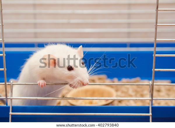 Curious white rat looking out of a cage