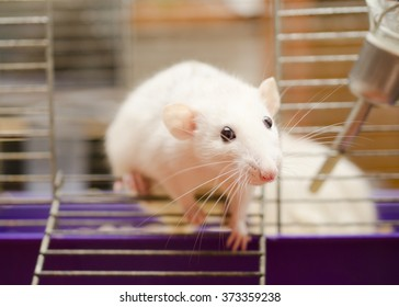 Curious white rat trying to escape from a cage (shallow DOF, focus on the rat nose and eyes)