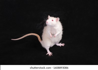 curious white standing domestic rat on a black background
