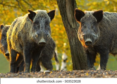 curious wild boars looking at the camera ( Sus scrofa )