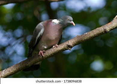 A curious Wood Pigeon keeps and eye on passers-by as it watches over it partner nearby, incubation their clutch of eggs in a flimsy stick nest