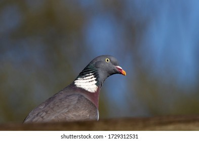 A curious Wood Pigeon watches for any close approach to its nest site. They are notorious for making flimsy stick platform that seem incapable of safely holding eggs or young squabs.