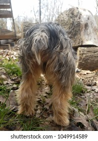 curious Yorkshire terrier exploring outside