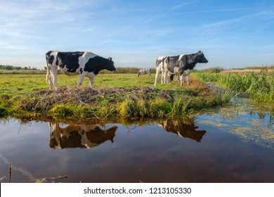 Curious young cows in a meadow and their reflections in a wide ditch in a beautiful polder landscape, near Rotterdam, the Netherlands.