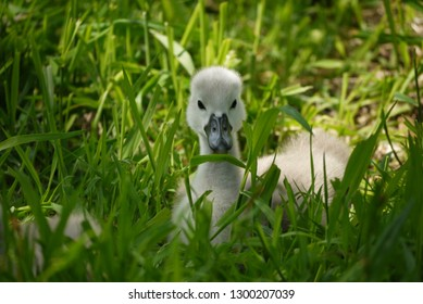 Curious young cygnet