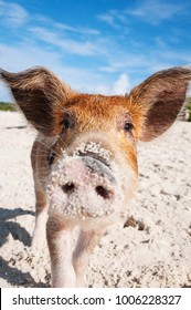 Curious young feral pig on the sandy beach of Exumas, Bahamas.